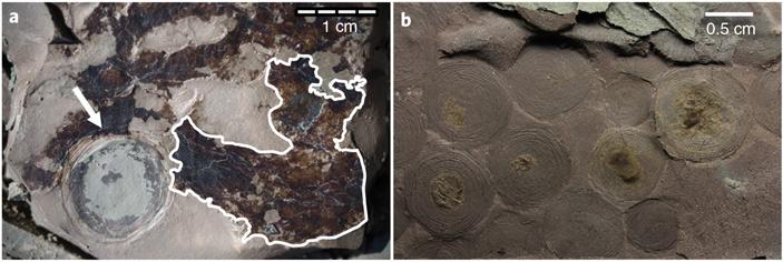 Рис. 2. Beltanelliformis из местонахождения Лямца на Онежском берегу Белого моря